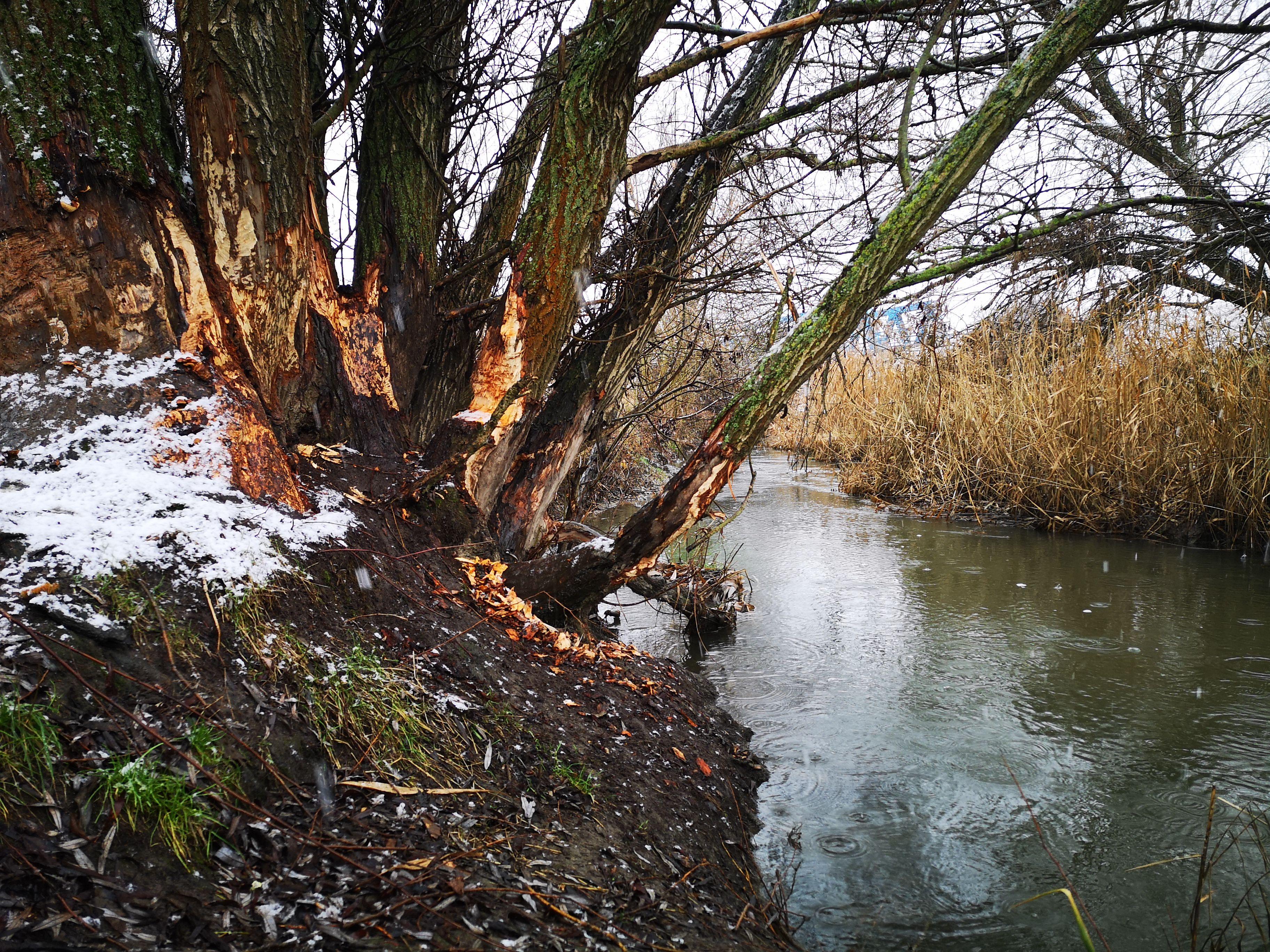 hód patak a férgektől féreg opisthorchiasis kezelése